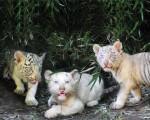 Tres tigres de bengala nacieron en el zoo porteño.