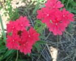 La Comuna 5 eligió a la margarita punzó como su flor.